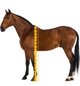 18 hands horse