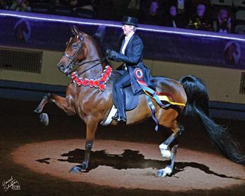 American Morgan Horse