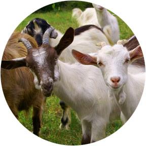 Goat Supplies